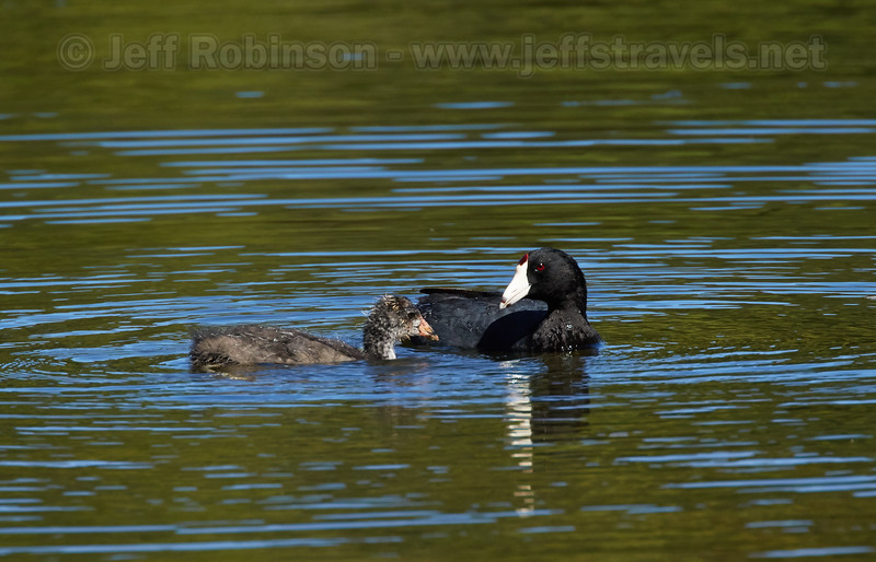 An American Coot and her large chick (7/18/2016, Deer Hills Lake)<br /> EF100-400mm f/4.5-5.6L IS II USM +1.4x @ 560mm f8 1/1000s ISO400