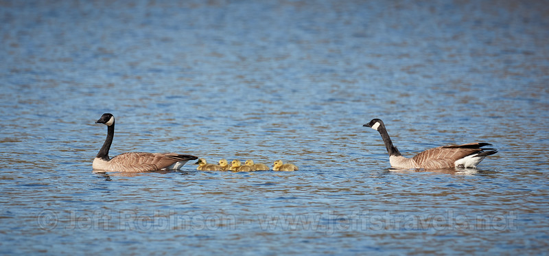 Geese #1 with 5 goslings at lake (4/3/2020, Deer Hills Lake)<br /> TAMRON SP 150-600mm F/5-6.3 Di VC USD G2 A022 @ 600mm f7 1/800s ISO400