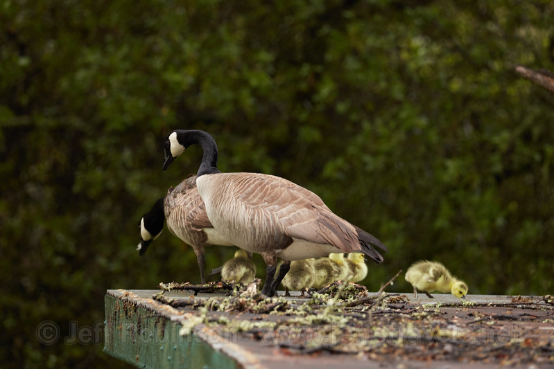 """Goose #1"" parents and goslings walking on roof shortly before jumping (4/17/2017, Goose #1 w/goslings)<br /> TAMRON SP 150-600mm F/5-6.3 Di VC USD G2 A022 @ 428mm f6.3 1/125s ISO1600"