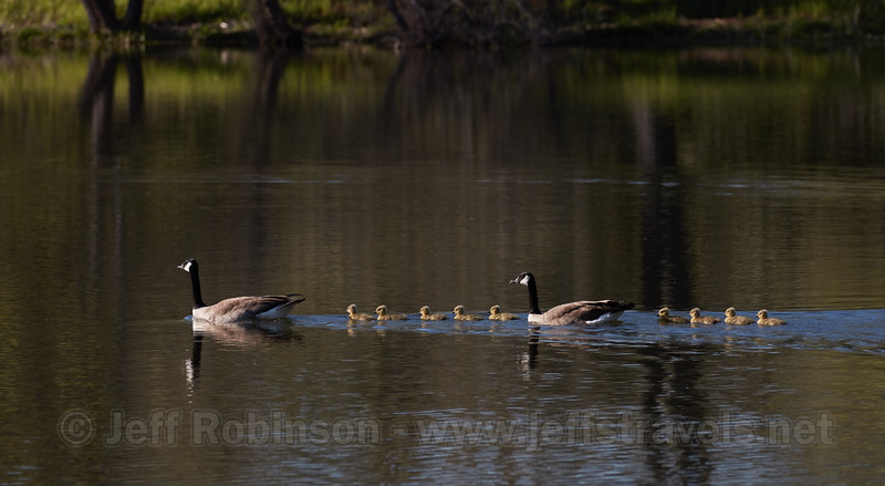 Geese family with 9 goslings (2nd family sighted at the lake this year) (4/14/2017, Deer Hills Lake)<br /> EF100-400mm f/4.5-5.6L IS II USM +1.4x III @ 280mm f8 1/640s ISO400