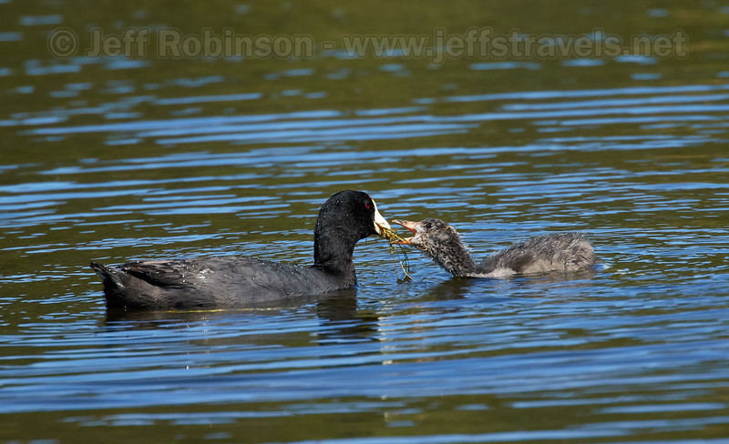 A American Coot feeding her large chick (7/18/2016, Deer Hills Lake)<br /> EF100-400mm f/4.5-5.6L IS II USM +1.4x @ 560mm f8 1/800s ISO400
