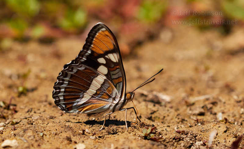 California Sister, a brown butterfly with orange on the tips of its wings, and some purple on the underside edges (7/22/2016, Deer Hills Lake)<br /> EF100-400mm f/4.5-5.6L IS II USM @ 300mm f8 1/1000s ISO400