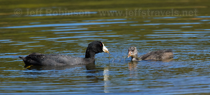 An American Coot feeding her large chick (7/18/2016, Deer Hills Lake)<br /> EF100-400mm f/4.5-5.6L IS II USM +1.4x @ 560mm f8 1/800s ISO400