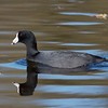 American Coot (4/3/2020, Deer Hills Lake)<br /> TAMRON SP 150-600mm F/5-6.3 Di VC USD G2 A022 @ 600mm f7 1/800s ISO400