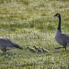 Geese #1 and 5 goslings in my field (4/3/2020,)<br /> TAMRON SP 150-600mm F/5-6.3 Di VC USD G2 A022 @ 600mm f7 1/500s ISO400