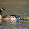 Mother goose #1 with father and goslings in the lake soon after leaving the nest (3/23/2016, Deer Hills Lake)<br /> TAMRON SP 150-600mm F/5-6.3 Di VC USD A011 @ 400mm f8 1/1000s ISO500