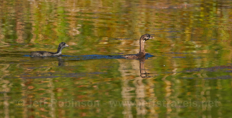 Pied-billed grebe in front of a juvenile American Coot (7/22/2016, Deer Hills Lake)<br /> TAMRON SP 150-600mm F/5-6.3 Di VC USD A011 @ 600mm f7 1/1600s ISO500