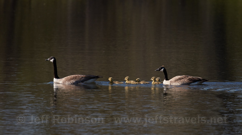 Geese family with 5 goslings (1st family sighted at the lake this year) (4/14/2017, Deer Hills Lake)<br /> EF100-400mm f/4.5-5.6L IS II USM +1.4x III @ 560mm f8 1/640s ISO400