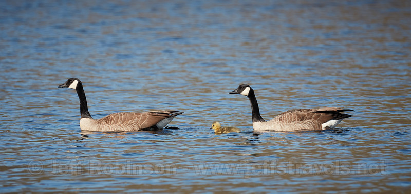 Geese with one gosling at lake (4/3/2020, Deer Hills Lake)<br /> TAMRON SP 150-600mm F/5-6.3 Di VC USD G2 A022 @ 600mm f7 1/800s ISO400