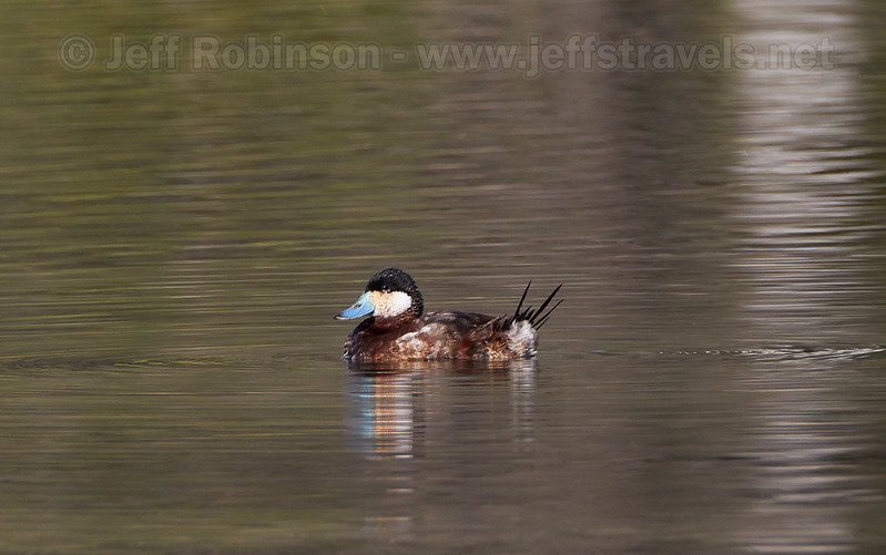 A male Ruddy Duck in breeding colors, including its blue bill (3/23/2016, Deer Hills Lake)<br /> TAMRON SP 150-600mm F/5-6.3 Di VC USD A011 @ 600mm f8 1/1250s ISO500