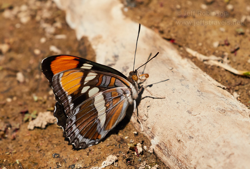 California Sister, a brown butterfly with orange on the tips of its wings, and some purple on the underside edges (7/22/2016, Deer Hills Lake)<br /> EF100-400mm f/4.5-5.6L IS II USM @ 400mm f7 1/1600s ISO400