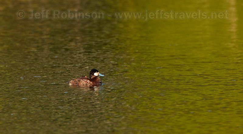 A male Ruddy Duck in breeding colors (including the blue bill) (3/26/2016, Deer Hills Lake)<br /> TAMRON SP 150-600mm F/5-6.3 Di VC USD A011 @ 600mm f8 1/500s ISO500
