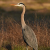A Great Blue Heron in my neighbors' field  (1/14/2017)<br /> EF100-400mm f/4.5-5.6L IS II USM +1.4x III @ 560mm f8 1/500s ISO400