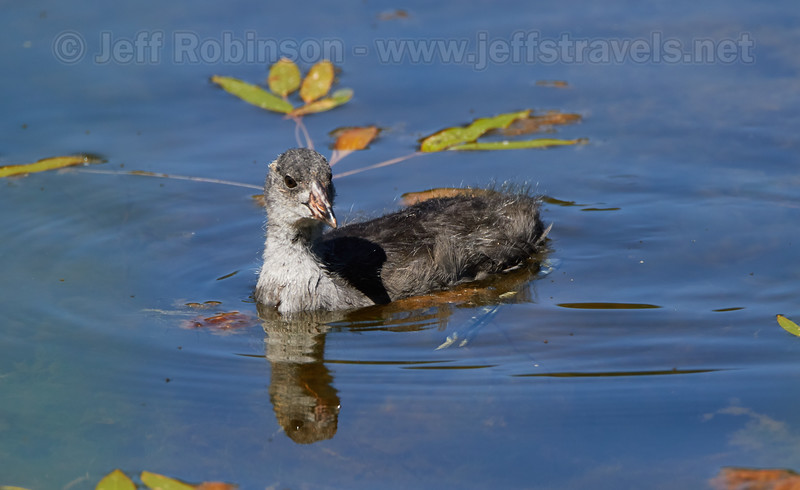 A large American Coot chick (7/22/2016, Deer Hills Lake)<br /> TAMRON SP 150-600mm F/5-6.3 Di VC USD A011 @ 600mm f8 1/1000s ISO400