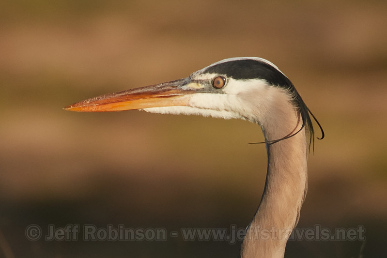 "A Great Blue Heron in my neighbors' field. It has its nictitating membrane closed. This is a ""third eyelid"" or clear eyelid that it can close to protect the eye while hunting (1/14/2017)<br /> EF100-400mm f/4.5-5.6L IS II USM +1.4x III @ 560mm f8 1/500s ISO400"