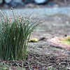 pine needles - pointy side into the ground