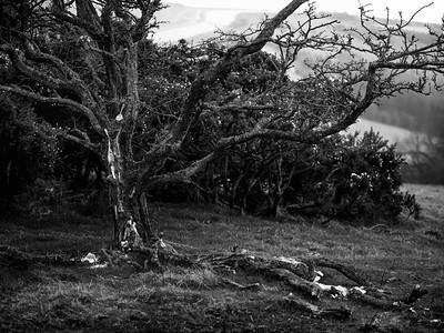 Tarnage nr Walbury Hill - Tree Carnage -