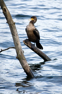 The cormorants were putting on a little show - I am guessing some kind of mating display.  They were just close enough for my long zoom to reach.  Most are cropped some.
