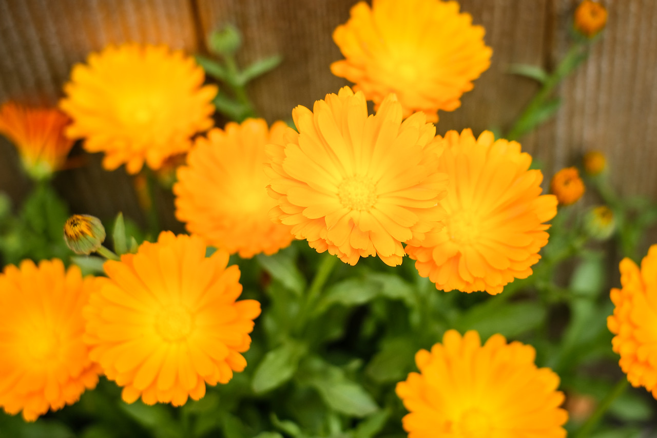 Orange blooms | Seattle, WA | May 2018