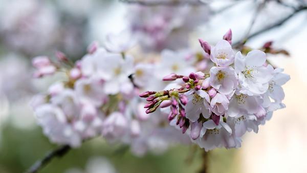 Springtime blossoms | Seattle, WA | March 2018