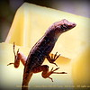 "Anole Lizard     ©  <a href=""http://www.PhotosRUs2008.com"">http://www.PhotosRUs2008.com</a>   Bob Lester   All rights reserved."