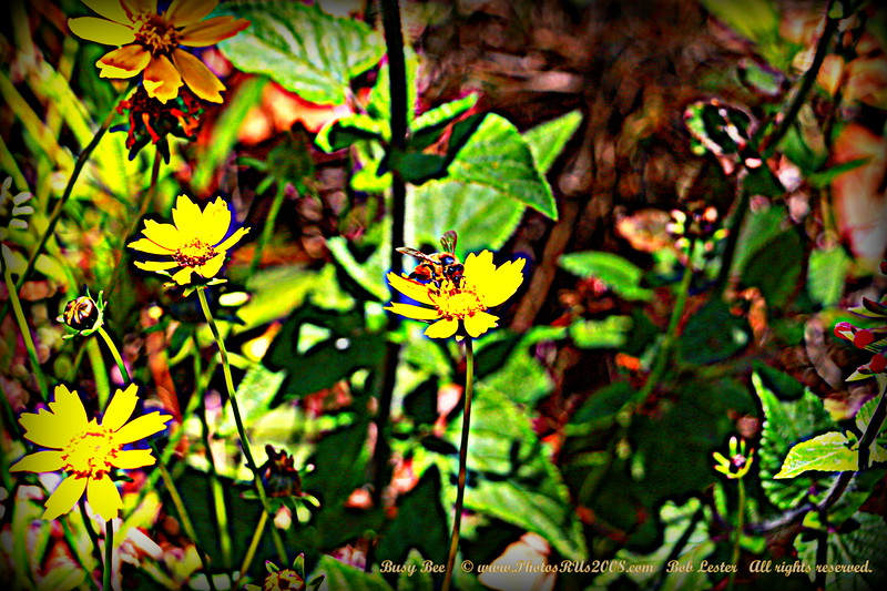 """Busy Bee    ©  <a href=""""http://www.PhotosRUs2008.com"""">http://www.PhotosRUs2008.com</a>   Bob Lester   All rights reserved."""