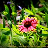 "Blanket flower    ©  <a href=""http://www.PhotosRUs2008.com"">http://www.PhotosRUs2008.com</a>   Bob Lester   All rights reserved."