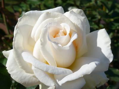 12 Perfect Roses