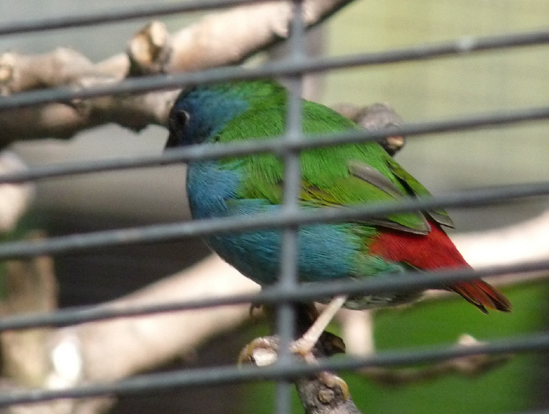 Sunda Parrot Finch, probably male (although the female is also brightly colored, but less blue on the face)