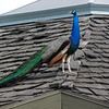 a different peacock, on an adjacent roof<br /> <br /> doesn't he have strong-looking legs?