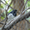 Magpie Robin, perhaps?