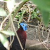 some kinda wattled pheasant-type<br /> <br /> looks like a blue Darth Vader mask to me