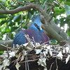 You, either, you Blue Crested SomeThingOrOther Pigeon sitting in a nest