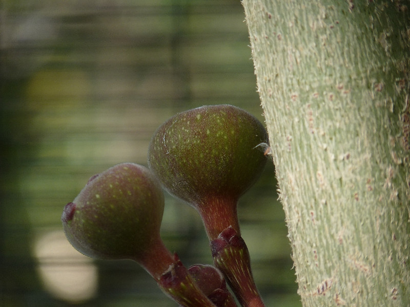 a fig tree growing what look suspiciously like inverted alien testicles