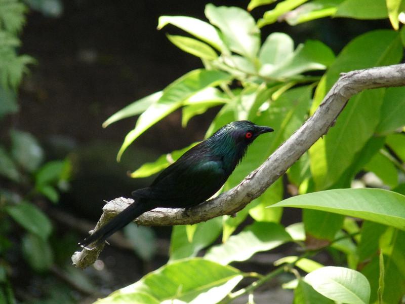 Metallic Starling, from North Queensland (Aus)