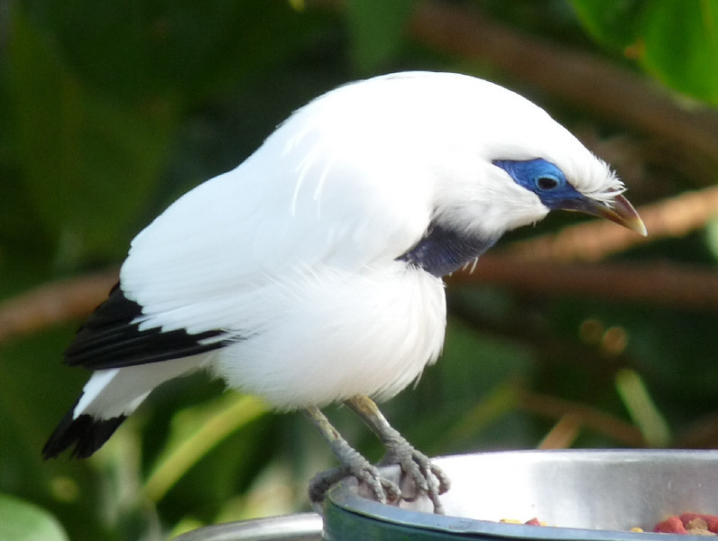 the stunning Bali Myna from Indonesia