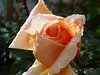 I'm a sucker for a dew-splashed rose....