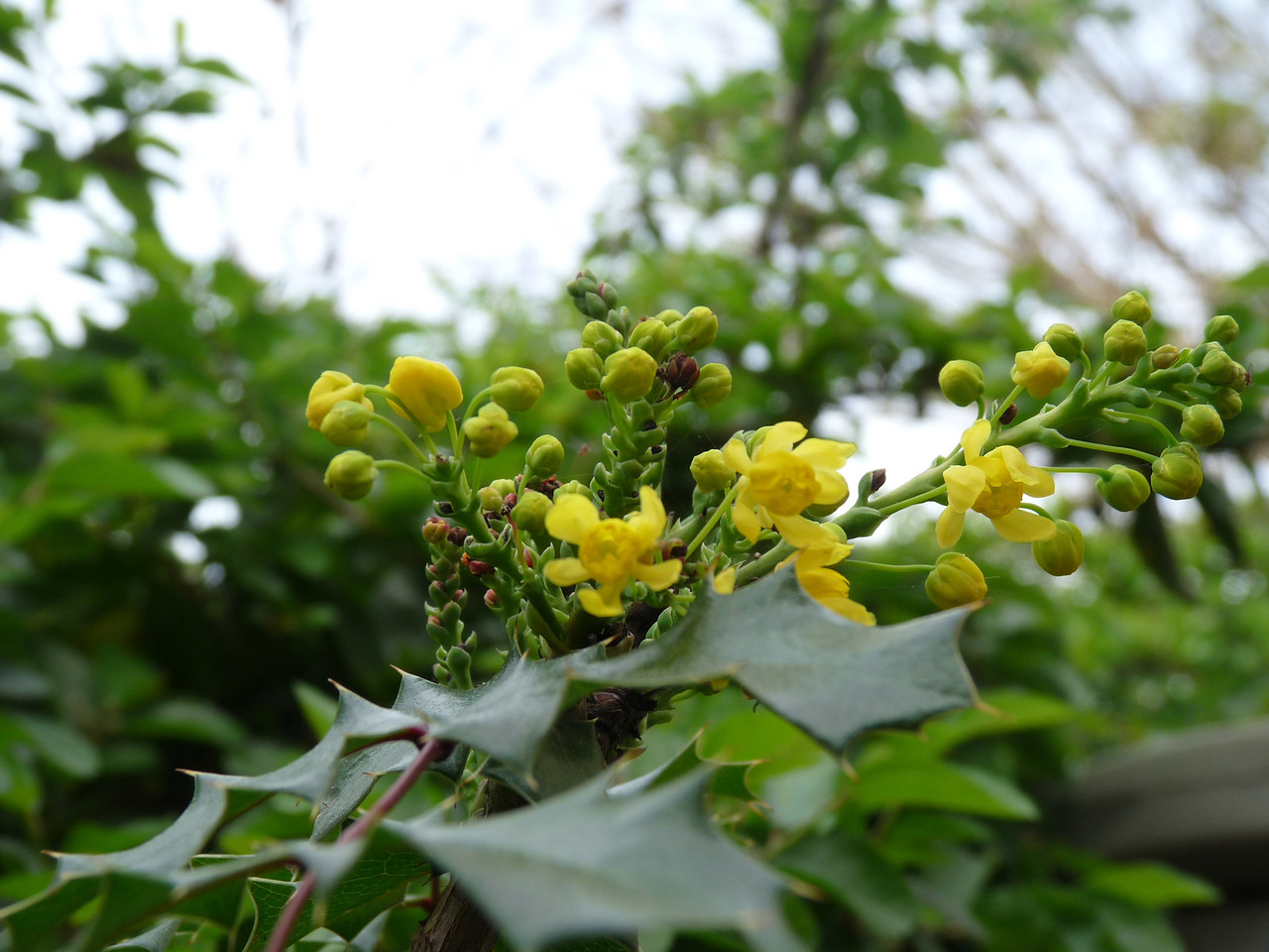 "Oregon Grape, which leaves look to me like it's a relative of the holly<br /> <br /> ""Mahonia aquifolium"""