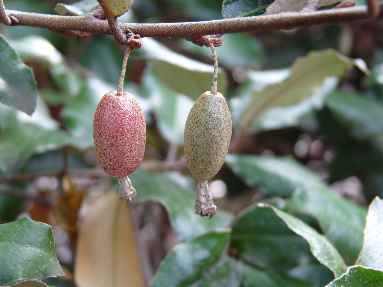 "aren't they beautiful?  Silverberry fruit<br /> <br /> (""Elaeagnus pungens Fruitlandii"")"