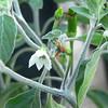 Black pepper flower