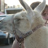 Three very put-upon llamas were being called on to give rides to the kiddies