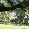 Nice little ornamental plum on Presidio Hill