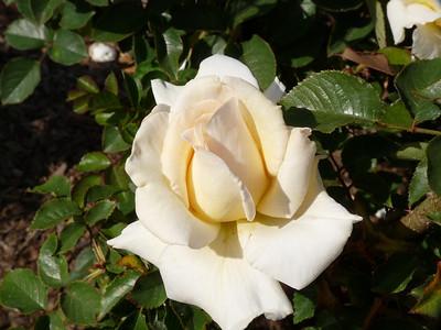 Rose Garden, 4-29-09