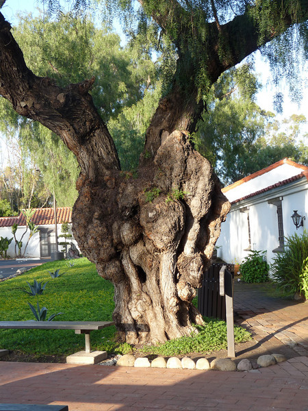 a very old pepper tree