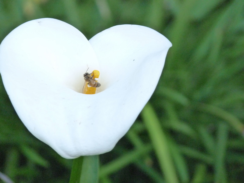 bee visiting a calla lily -- click and make the picture bigger to see his saddle-bags are fully laden with white pollen