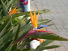 more curious Birds of Paradise
