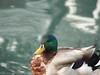 a different Mallard swimming, on greenish water