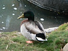 yet another Mallard, not as pretty as the others