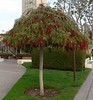 I have never seen a bottle-brush tree trimmed like this -- so Seussian!  And very green, too...
