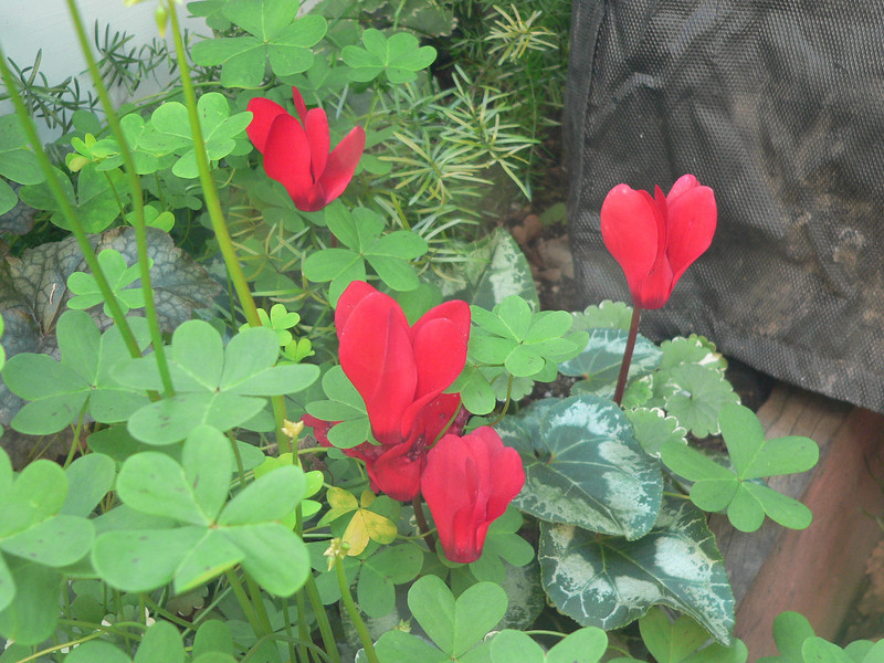 I had no idea one could actually grow a little red heart in a flower bed
